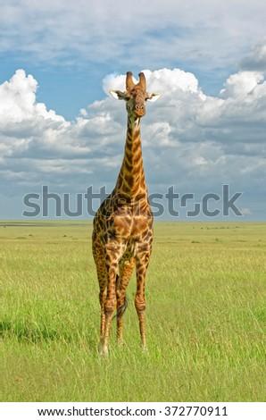 Giraffe, Masai Mara, Kenya, - stock photo