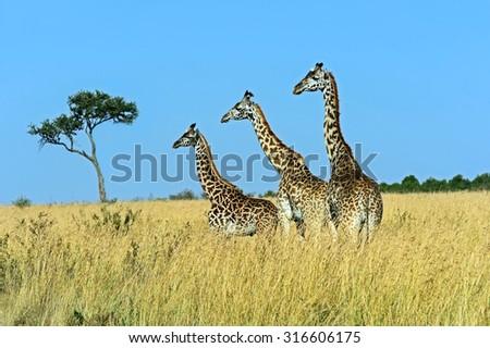 Giraffe Masai Mara National Park in Kenya - stock photo