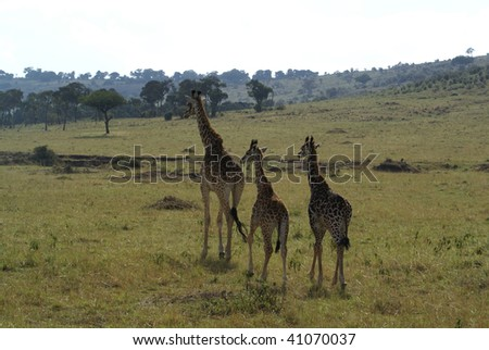 Giraffe Mother and Twins - stock photo