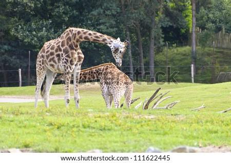 Giraffe mother feeding her child - stock photo