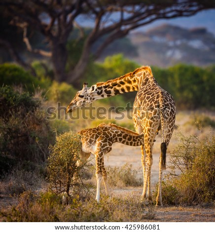Giraffe mother feeds her calf in Kilimanjaro, Africa - stock photo