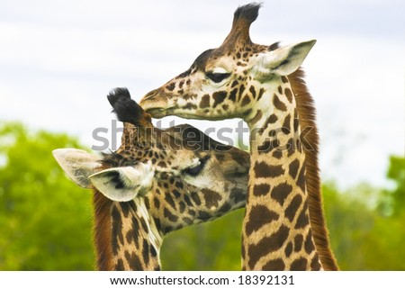 Giraffe mother with child - stock photo