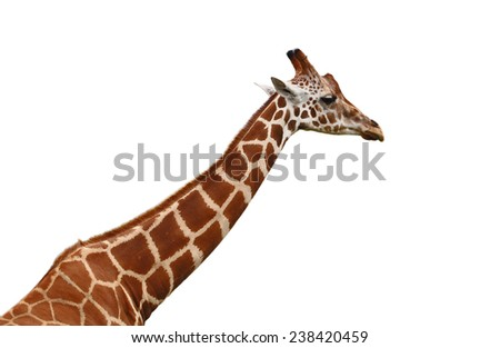 Giraffe neck and head isolated on white background - stock photo