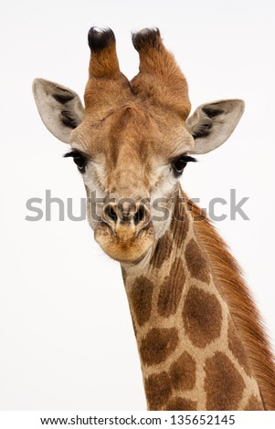Giraffe on isolated background - stock photo