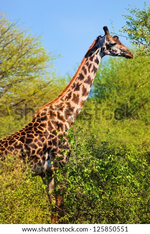 Giraffe on savanna among trees eating. Safari in Serengeti, Tanzania, Africa