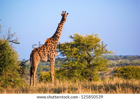 Giraffe on savanna, full view. Safari in Serengeti, Tanzania, Africa - stock photo