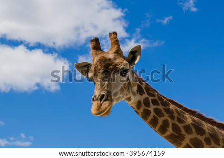 giraffe on sky background - stock photo