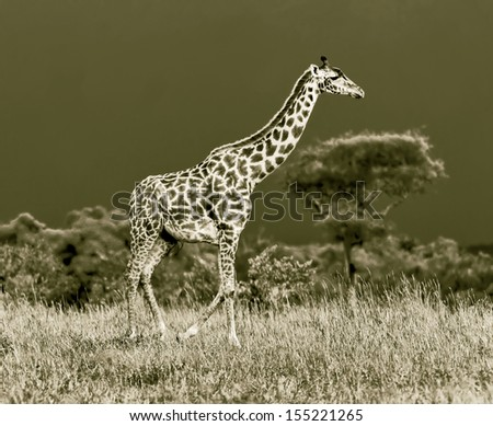 Giraffe on the background of a thundercloud in the Masai Mara National Reserve - Kenya (stylized retro) - stock photo