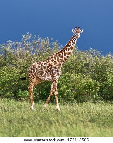 Giraffe on the background of a thundercloud on the Masai Mara National Reserve - Kenya - stock photo