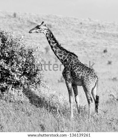 Giraffe on the Masai Mara National Reserve, Kenya (black and white) - stock photo