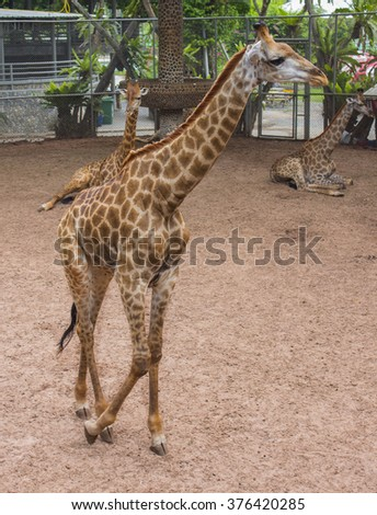 giraffe on the white background - stock photo
