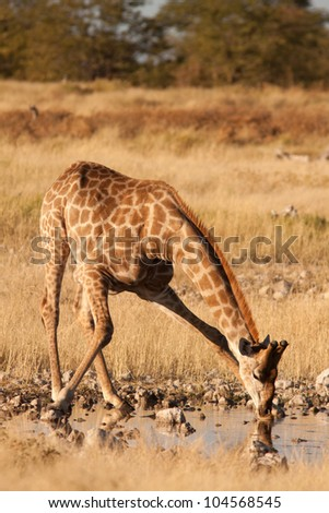 giraffe on waterhole - stock photo