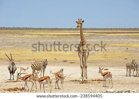 Giraffe, Oryx Zebra and Springbok around a waterhole in the Etosha Pan - stock photo