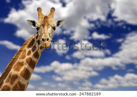 Giraffe over blue sky with white clouds - stock photo