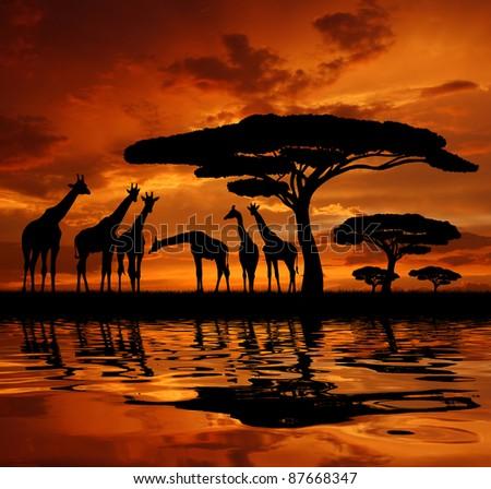 giraffe over sunrise - stock photo