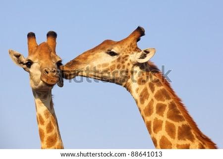 Giraffe pair bonding in the Kruger National Park, South Africa. - stock photo