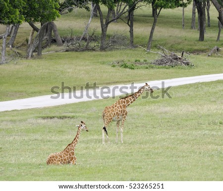Giraffe pair in grassland