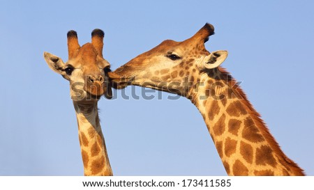 Giraffe pair kissing in the Kruger National Park, South Africa. Suitable as wildlife image or for special occasions such as Valentine's Day. - stock photo