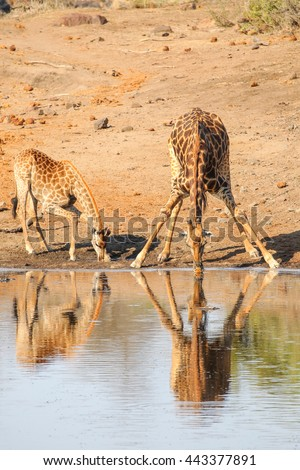 Giraffe parent and child bending to drink water from river, Kruger National Park - stock photo