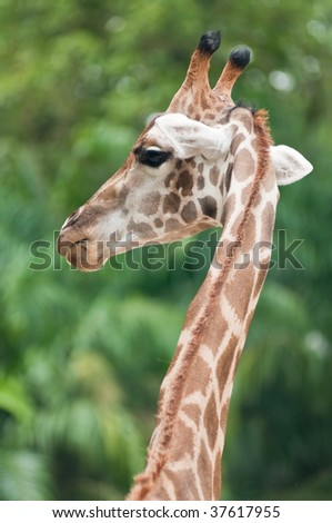 Giraffe photo taken in a zoo - stock photo
