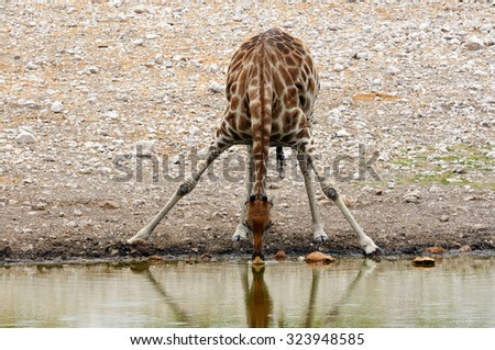 Giraffe photographed frontally while drinking at a waterhole in Namibia - stock photo