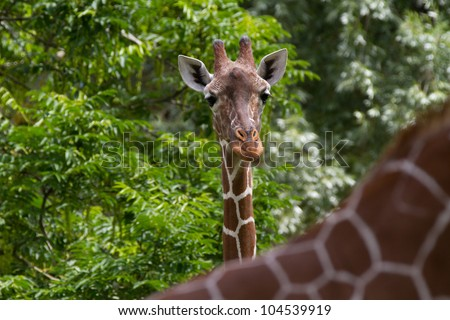 giraffe portrait - stock photo