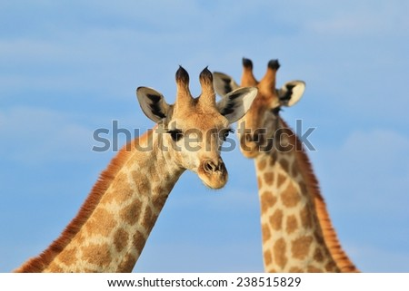 Giraffe Portrait - African Wildlife Background - Posture within Beautiful Nature - stock photo