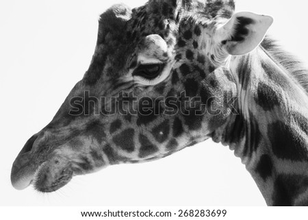 Giraffe portrait in black and white - stock photo