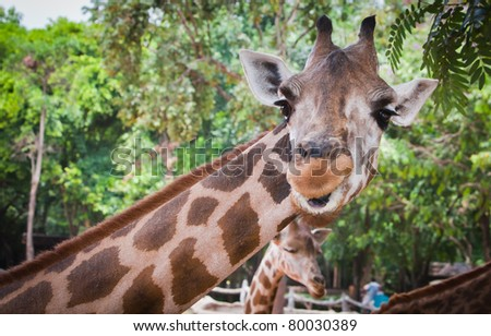 Giraffe portrait in nature