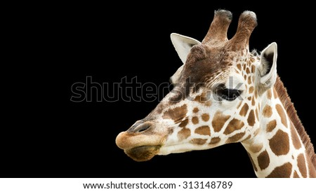 giraffe portrait isolated on a black background - stock photo