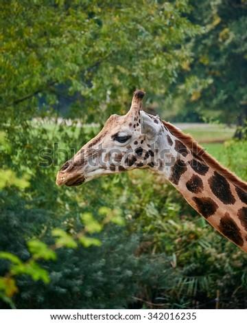 "giraffe ""portrait"" on green natural background - stock photo"
