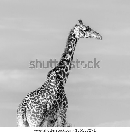 Giraffe portrait on the Masai Mara National Reserve - Kenya, Eastern Africa (black and white) - stock photo