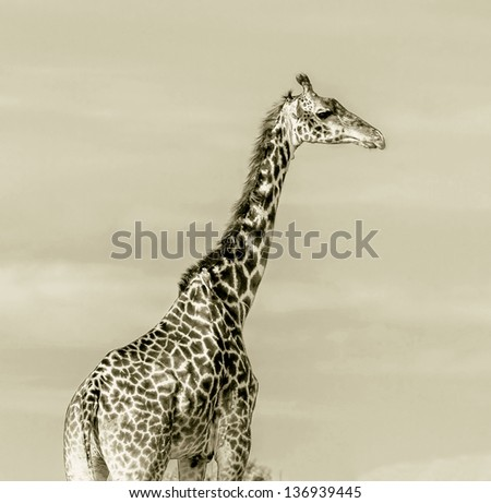 Giraffe portrait on the Masai Mara National Reserve - Kenya, Eastern Africa (stylized retro) - stock photo