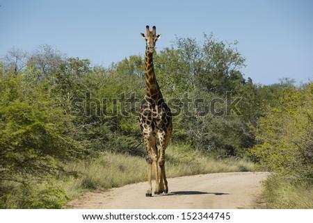Giraffe roadblock, Kruger, South Africa  - stock photo