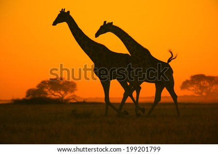 Giraffe Run - Wildlife Background from Africa - Colorful Nature Sunset and Landscape
