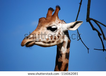 Giraffe's head against a blue sky