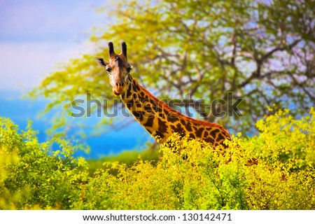 Giraffe 's head standing out from the bush. Safari in Tsavo West, Kenya, Africa - stock photo