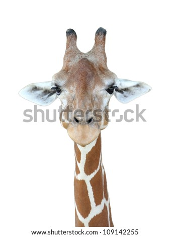 Giraffe's head with isolated background - stock photo
