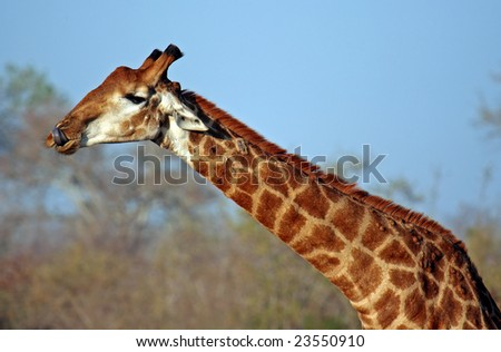 Giraffe showing her tongue, South Africa, wildlife - stock photo