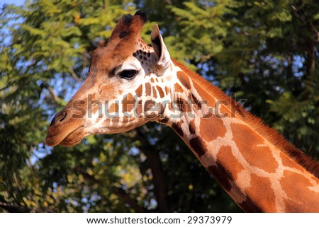Giraffe - Side Profile of Face and Neck