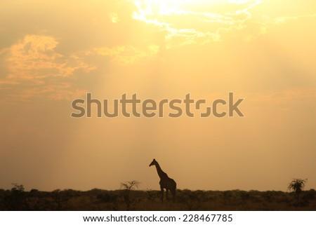 Giraffe Silhouette - African Wildlife Background - Sky Light Wanderer of Beauty - stock photo