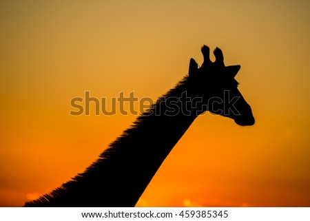 Giraffe silhouette against the setting sun - stock photo