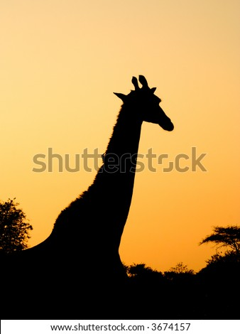 Giraffe silhouetted against the sunset - stock photo