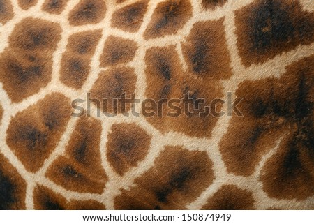 Giraffe skin close-up - stock photo