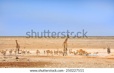 Giraffe, springbok & Gemsbok Oryx in Etosha National Park - stock photo