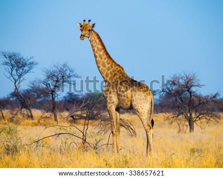 Giraffe standinf in yellow dry grass of savanna - stock photo