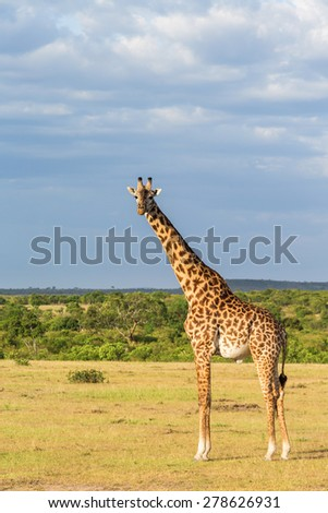 Giraffe standing at the savannah landscape in Africa - stock photo