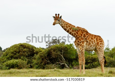 Giraffe standing in the field with a leaf stuck on his neck.