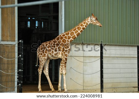 Giraffe standing outside with green corrugated tin shed in background - stock photo