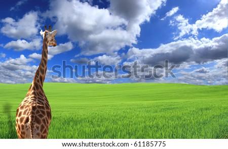 Giraffe staring at field - stock photo